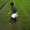 Farmer adds fertilizer to his crops