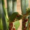 La rouille des tiges du blé est un champignon capable de causer de lourdes pertes de rendements.
