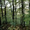 Beech tree wood, Krapina (Croatia)