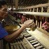 Des éleveurs de poulets en Indonésie confrontés à la grippe aviaire.