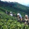 Women picking tea in the Nilgiri Mountains, India