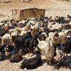 Typical goats in southern Lebanon ready for distribution to poor beneficiaries