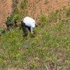 Coca farmer tending his field in Convención-Lares, Peru