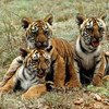 Tiger cubs in Mysore, India. UNEP is actively involved in working with Governments, scientists, private organizations and other concerned groups to preserve and protect this endangered species.