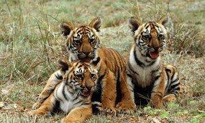 В мире осталось около четырех тысяч тигров