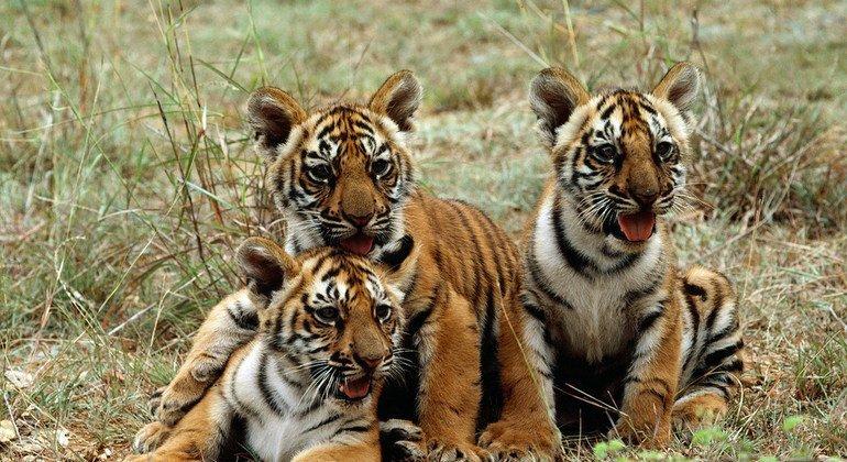 القطط الكبيرة حيوانات مفترسة تحت تهديد الانقراض أخبار الأمم المتحدة