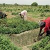 Des femmes cultivant des onions et du manioc dans une communauté rurale au Sénégal