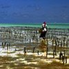 Aquaculture à Zanzibar.