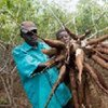 Récolte de manioc.