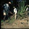 Haitian farmers clear land for planting