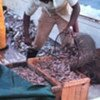Shrimp is one of the most important internationally traded fishery product