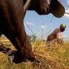 Récolte de riz en Afrique de l'Ouest.