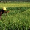 High quality rice seeds could help Benin to become self-suficient