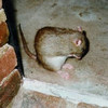 FAO hopes to deter rodents from attacking crops in northern Laos.