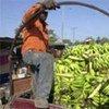 Un fermier haïtien dans un camion rempli de bananes, avant le séisme de janvier 2010.