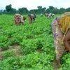 Une femme désherbe un champ dans le village de Foro-Foro en Côte d'Ivoire (Photo archives).