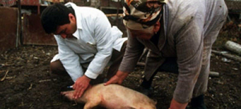 La FAO est préoccupée par la propagation de la peste porcine.