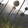 La production d'opium est en baisse en Afghanistan