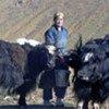 Une femme s'occupe de ses yaks dans la province de Khovd, en Mongolie.