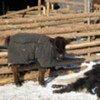 """蒙古被成为""""白灾""""的极端天气已经导致当地牲畜死亡。"""