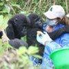 Des gorilles orphelins en République démocratique du Congo.