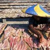 Child worker drying fish in the sun to preserve them.