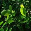 Des plants de coca.