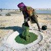 Le dihé, une algue nutritive au Tchad, pourrait aider à lutter contre la malnutrition.