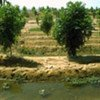 An FAO-supported afforestation project in Egypt that uses treated wastewater mixed with groundwater to irrigate trees
