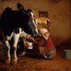 Nearly 150 million farm households are engaged in milk production.