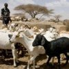 Sheep and goats are critical to herders' livelihoods
