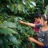 Cultivando café en Honduras  Foto:  FAO