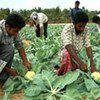 Farm workers harvest cauliflower in Puttlam District, Sri Lanka