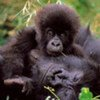 Virunga National Park is notable for its active volcanoes and greatest diversity of habitats of any park in Africa