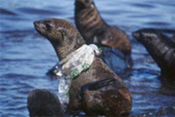 海豹身上的塑料垃圾。