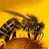 Bees under bombardment: new report shows multiple factors behind pollinator losses