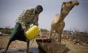 A herder pours water for his camels at a water catchment point in Harshin district, Ethiopia, which is affected by drought.