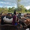 A farmer tends to his herd. Rinderpest eradication means a brighter future for farmers and pastoralists.