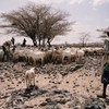 The drought has taken a serious toll on livestock in the Horn of Africa.