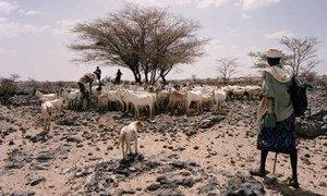 La Corne de l'Afrique est régulièrement frappée par des périodes de sécheresse.