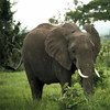 Adult elephant roaming peacefully in the Mikumi National Park in Tanzania. (1980)