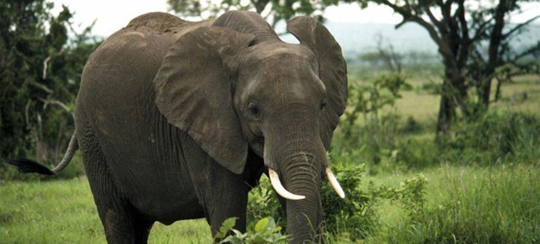 Un éléphant dans le Parc national de Mikumi, en Tanzanie.