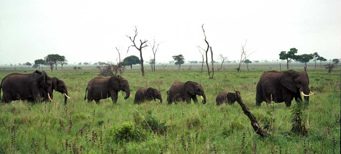 Protected from external dangers, an elephant family roam peacefully in the Mikumi National Park in Tanzania.