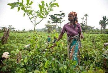 Une femme dans un champ de manioc, au Libéria.