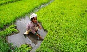 Une agricultrice récoltant du riz à la main au Timor Leste.