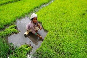 No Timor-Leste, mais de 70% da população pratica a agricultura e depende desse setor para seu sustento.