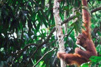 Los orangutanes de Borneo se encuetran en riesgo. Foto de archivo: ONU