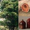 Le Panama a demandé l'aide des autres pays membres de la CITES pour contrôler le commerce du Dalbergia retusa, un bois rare.