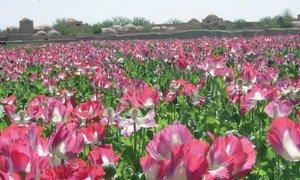 Un champ de pavot en Afghanistan.