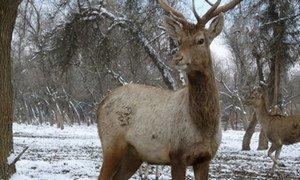 Bukhara deer in Uzbekistan